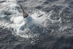 Striped Marlin - Mark Kitteridge